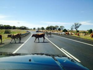cattle onthe road