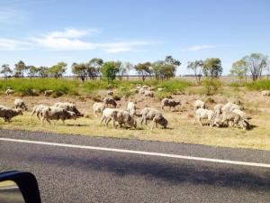 sheep grazing along roadside